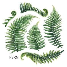 Watercolor collection of fern branches isolated on white background - Stock-Illustration : Aquarell Farn Blätter - Botanisches Tattoo, Hanya Tattoo, Glyph Tattoo, Leaf Tattoos, Body Art Tattoos, Small Tattoos, Gun Tattoos, White Tattoos, Maori Tattoos