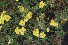 Cinquefoil  (to keep dense round habit, remove canes during winter or cut to ground) Potentilla fruticosa - Plant Database - University of Connecticut