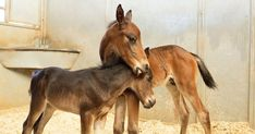 Rare twin horses born in Wilton Animals Images, Animals And Pets, Baby Animals, Cute Animals, Hound Puppies, Basset Hound Puppy, Horse Pictures, Cute Animal Pictures, Animal Pics