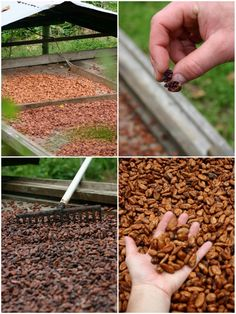 Collages | Green Acres Chocolate: Bocas Del Toro, Panama | community