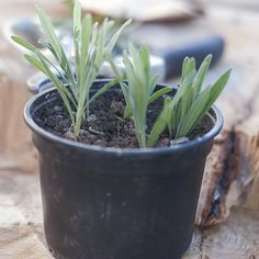 Lavanda - Tăiere, Înmulțire - magazinul de acasă Planting Flowers, Diy And Crafts, Avocado, Home And Garden, Herbs, Backyard, Fruit, Plants, Gardening
