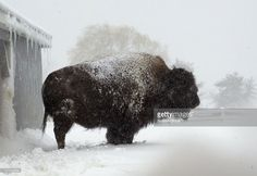 Buffy the Buffalo seems to be content riding out the blizzard at Tendercrop Farm.