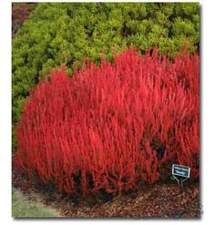 Calluna vulgaris 'Firefly'  - this Heather stays that bright red color all winter