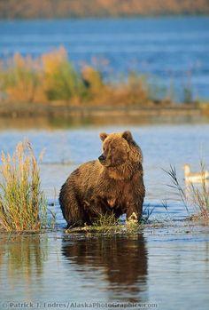 Brown bear wades in Brooks river, Katmai National Park, Alaska Bear Images, Bear Pictures, Animal Pictures, Animals And Pets, Baby Animals, Cute Animals, Wild Animals, Wild Creatures, Woodland Creatures