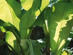 Cold Hardy Tropical Plants - The most cold-hardy banana variety is Japanese fiber banana (Musa basjoo) which doesn't have the beautiful coloration of the more tropical ornamental bananas but, if well mulched, has even come back from degrees F. Tropical Backyard, Tropical Landscaping, Landscaping Plants, Backyard Paradise, Outdoor Plants, Outdoor Rooms, Outdoor Living, Backyard Plants, Outdoor Ideas