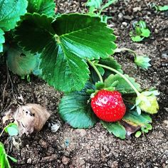 Strawberries in my garden! #farmlife #maui #mauilife #instagram #facebook