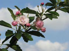 Prairie Rose Flowering Crab - Knecht's Nurseries & Landscaping