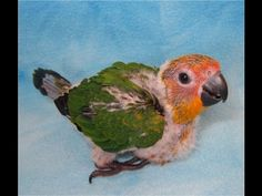 Jenday Conure Parrots 5 weeks old
