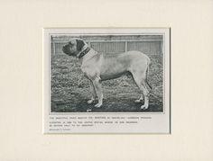 MASTIFF NAMED CHAMPION DOG OLD 1912 ANTIQUE DOG PRINT MOUNTED READY TO FRAME
