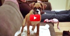 Bella The Boxer Can't Contain Her Excitement! I Don't Think I've Ever Seen A Reaction Like This! | The Animal Rescue Site Blog