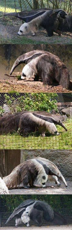 Anteaters legs look like Pandas