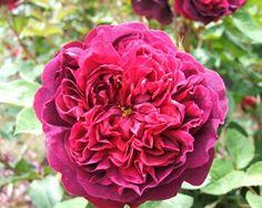 William Shakespeare Rose