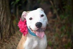 SAFE - 12/13/15 - #A1049880 ANASON - Staten Island - **RETURNED 11/27/15** - SPAYED FEMALE ROWN & WHITE AM PIT BULL TER MIX, 2 Yrs 3 Mos - RETURN - EVALUATE, HOLD RELEASED Reason DESTRUCTIVE - Due Out 11/27/15 - FRIENDLY, SWEET, ALLOWS ALL HANDLING