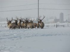 Elk in Hyrum, Utah in Winter