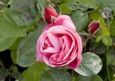 Восхождение роуз семена альпинист розовый многолетние растения   200 семена купить на AliExpress