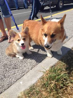 Wally was so excited to meet a big corgi that he plopped right down next to him for a picture!