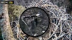 Sasquatch Caught On Eagle Cam - Breakdown http://theforteanslip.blogspot.co.il/2016/10/sasquatch-caught-on-eagle-cam-breakdown.html
