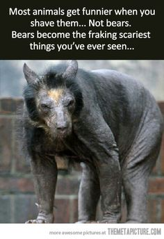 When you shave a bear (Seems legit) @Crystal Chou Chou Wright