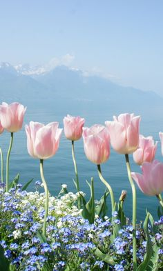 Soft Pink Tulips By Lake                                                                                                                                                                                 Más