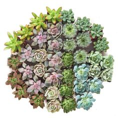 Shop Succulents Rosette Succulent (Collection of Shop. Shop Succulents Rosette Succulent (Collection of Succulents Online, How To Water Succulents, Buy Succulents, Planting Succulents, Watering Succulents, Succulent Care, Succulent Pots, Greenhouse Growing, Mother Plant