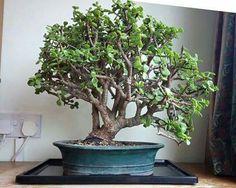My portucalaria bonsai from Kaizen Bonsai Bonsai Tree Types, Bonsai Trees, Jade Bonsai, Jade Tree, Indoor Bonsai, Kaizen, Tree Designs, Gardening, Plants