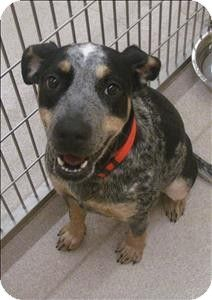Birmingham, AL - Australian Cattle Dog Mix. Meet Ellie Mae a Dog for Adoption.