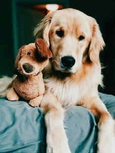 #golden #retriever #goldenretriever #dogs #cute #animals