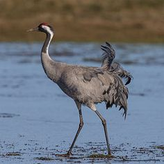 Common crane grus grus.jpg  #80_Animals  #crane #Kranich #灰鹤