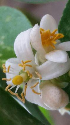 Flor del limón, bella creación de Dios!