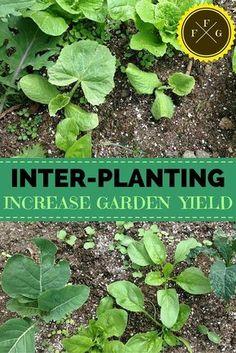 Gain more food with your garden space with inter-planting
