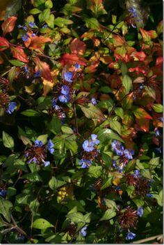 Ceratostigma willmottianum - A hardy plumbago, this adds deep blue blooms late in summer and autumn, which is perfect against the flame shades that colour some of the dark green leaves. My current Number Summer Flowers To Plant, Planting Flowers, Euonymus Alatus Compactus, Best Perennials, Summer Garden, Shallow, Green Leaves, Deep Blue, Shrubs