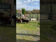 Happy Sheep! Sheep Farm, Fencing, Farm Animals, Happy, Fences, Ser Feliz, Being Happy