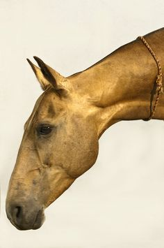 "Darginka, Akhal-Teke mare. The ""necklace"" is a traditional good luck charm."