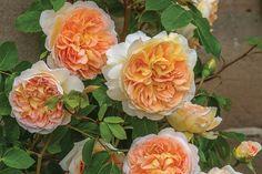 Bathsheba, New David Austin English Rose 2016