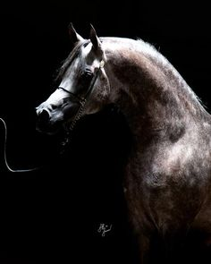 Om El Babylon   Cedarbrook Arabians