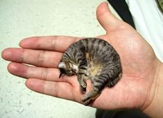 The Smallest Cat In The World Cats And Cucumbers Small Cat Domestic Cat
