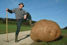 The largest potato to be grown weight 18 pounds and four ounces. That's more than twice the size of a typical newborn baby.This giant potato is in the Guinness Book of World Records. I think that this farmer is very happy!