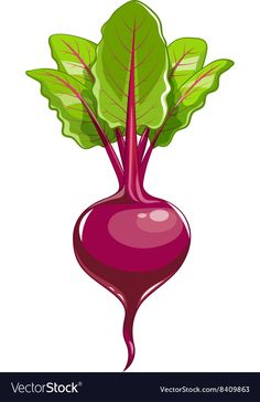 Fresh beet with leaf Royalty Free Vector Image Fruit And Veg, Fruits And Vegetables, Healthy Prepared Meals, Fresh Beets, Fruit Icons, Food Patterns, Fruit Art, Beetroot, Preschool Printables