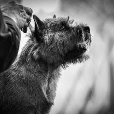 Cairn Terrier Dog Photography Cairn Terrier, Terrier Dogs, Dog Photography, Dungeons And Dragons, Animals, Animales, Cairn Terriers, Animaux, Animal