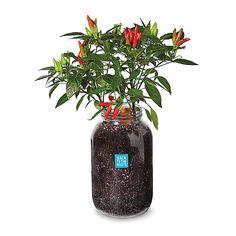Self-Watering Pepper Planter