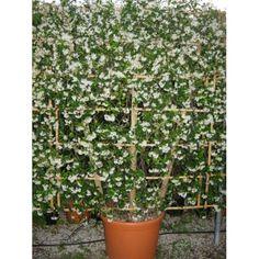 1000 images about espalier on pinterest jasmine. Black Bedroom Furniture Sets. Home Design Ideas
