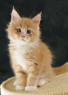 orange maine coon kitten. one of the best breeds of cats. one day I'll get another one! http://www.mainecoonguide.com/maine-coon-personality-traits/