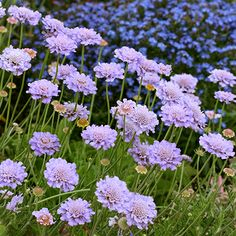 Specializing in rare and unusual annual and perennial plants, including cottage garden heirlooms and hard to find California native wildflowers. Dutch Gardens, Drought Resistant Landscaping, Plants, Small Gardens, Permaculture Gardening, Fynbos, Perennials, Waterwise Garden, Water Wise Plants