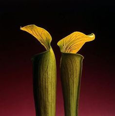 Robert Mapplethorpe – « Double jack in the pulpit » – 1988