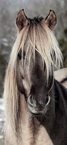 #Brauner #Isländer #Pony