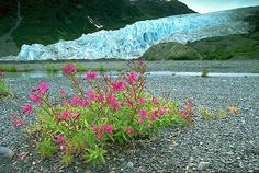 picture of Dwarf Fireweed And Exit Glacier Image