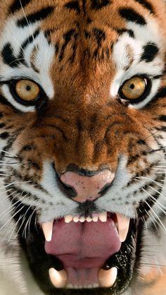 """Tiger:  """"Golden Eyes!"""""""