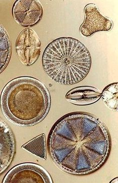 Diatoms are a major group of algae, and are one of the most common types of phytoplankton. Most diatoms are unicellular, although they can exist as colonies in the shape of filaments or ribbons, fans,. Patterns In Nature, Textures Patterns, Microscopic Images, Microscopic Algae, Foto Macro, Microscope Slides, Microscopic Photography, Ernst Haeckel, Macro And Micro