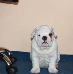 Oliver - english bulldog puppy
