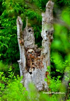 Great Horned Owl baby @ a birding area in Ohio